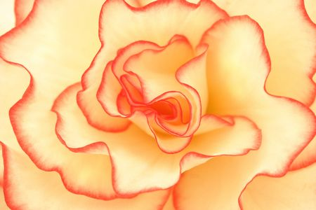 begonia: Cerca de una crema y rojo begonia de flor.
