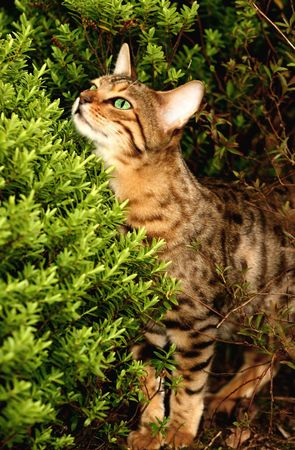 bengali:  Bengali special breed kitten peeping over a hebe bush in a flowerbed.