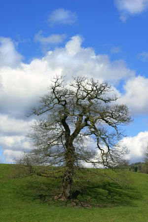 Oak tree in a field in spring, with a blue sky and puffy white clouds. photo