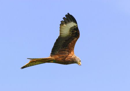 tagged:  Red Kite eagle flying in a clear blue sky.