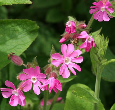 Red Campion wildfowers and leaves (silene dioica)