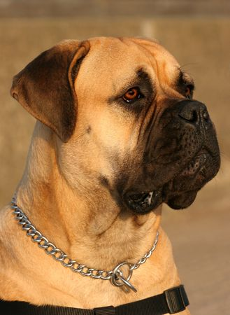 Profile of a Bull Mastiff. photo