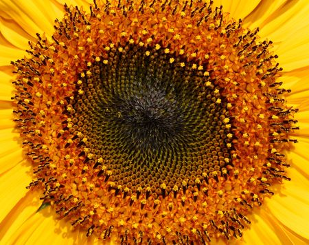 stamens: Central section of a sunflower in full bloom, showing the stamens and pollen heads in a spiral formation.