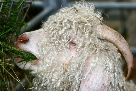 Close up of an angora goat eating grass from a container. photo