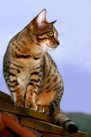 fixate:  Bengali Special breed kitten sitting on a bird box waiting to catch birds.