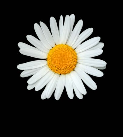 Daisy flower isolated on a  black background. Stock Photo