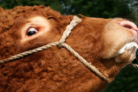Profile of a bull  foaming at the mouth with a mad look in its eye. photo
