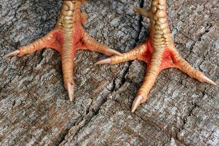 Feet of a Rhode Island Red Cockerel. Stock Photo