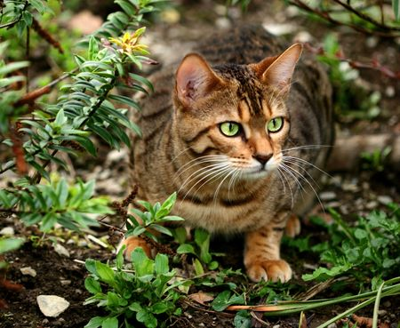 Bengali special breed kitten about to pounce in a flowerbed. Stock Photo