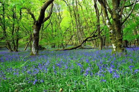 Ancient bluebell forest in spring in the Cambrian Mountains, Wales, UK. photo