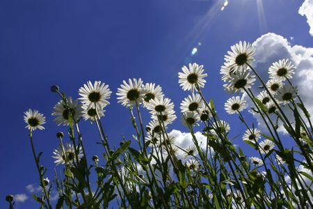 Ox eye daisies taken from below, set against a blue sky and puffy white clouds, with the suns rays shining down on the daisies. Stock Photo