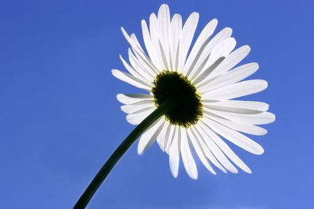 Rear view of the petals of a daisy on a clear sky blue day. photo