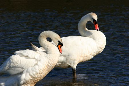 Male and female pair of swans,  standing in water and curving their necks. Stock Photo - 312972