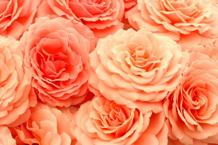 Coral pink roses.