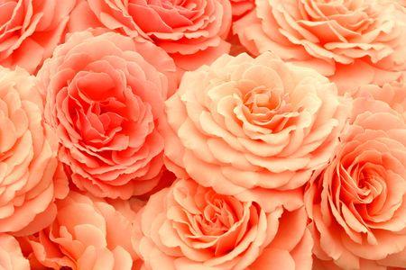 rosettes: Coral rosa rosas.