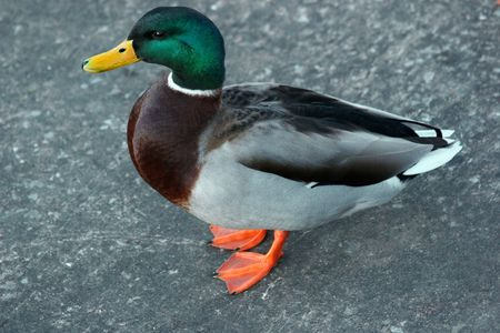 Mallard duck standing on a pavement. photo