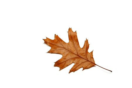 Dried oak leaf against a white background photo