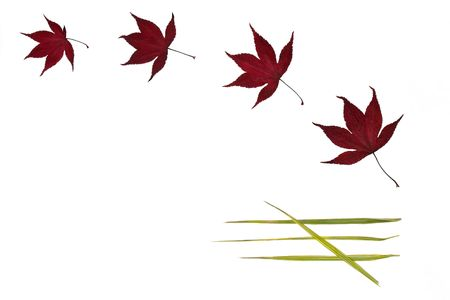 acer: Four acer leaves and four bamboo leaves arranged in a pattern against a white background.