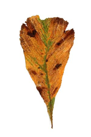 Dried horse chestnut leaf on a white background. Stock Photo - 326163