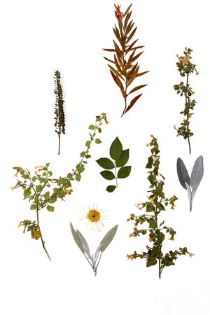 pressed: Selection of dried pressed flowers and leaves of autumn on a white background.