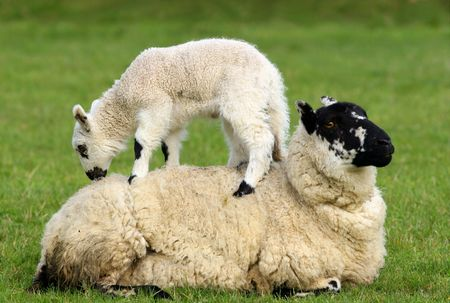 Female sheep lying in a field in spring with a lamb climbing on its back. photo