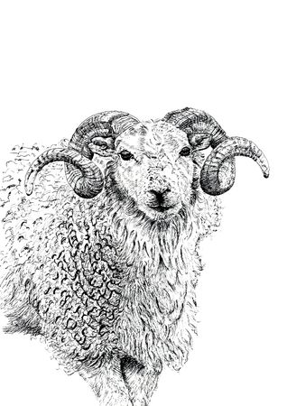 Pen and ink hand drawn illustration of the face and upper body of a ram.