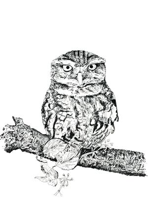 Pen and ink hand drawn illustration of a tawny owl against a white background.