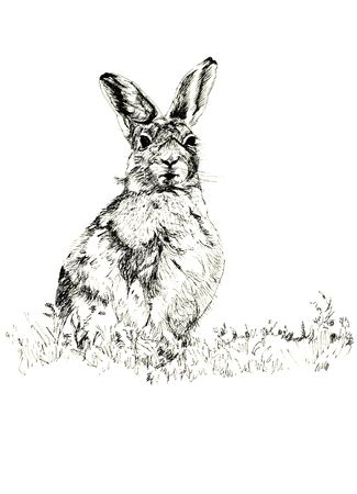 Pen and ink hand drawn illustration of a hare against a white background. Reklamní fotografie