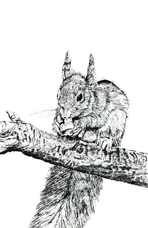 Hand drawn illustration in pen and ink of a squirrel eating a nut. Set against a white background.