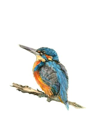 Hand drawn illustration of a kingfisher against a white background.
