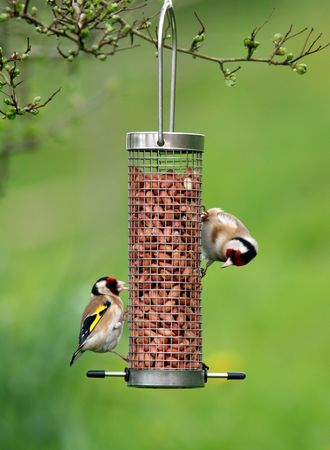 Two goldfinches in spring, feeding from a stainless steel bird feeder filled with peanuts.