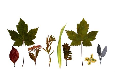 Line of different dried leaves of autumn against a white background. photo