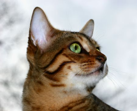 bengali: Bengali special breed kittens face fixated on something, with a light colored sky background.