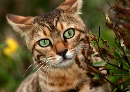Bengali special breed kitten peeping out from beside a hebe bush. Stock Photo