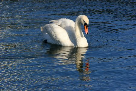 White swan and its reflection on water. photo