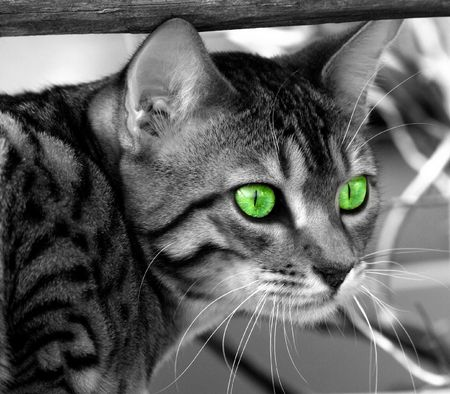 enhanced: Bengali special breed kitten, desaturated, with saturated green eyes.