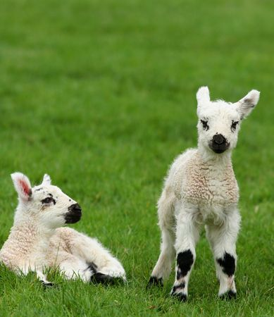 sheepskin: Two lambs in a field in spring, one standing and one sitting.
