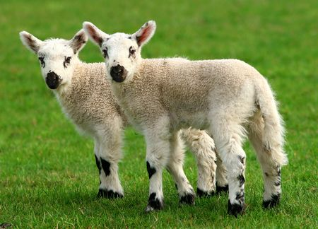 in twos: Twin white lambs standing together in a field in spring.