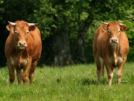 Two brown cows with horns in a field in summer photo