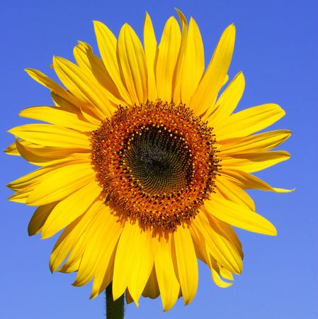 stamen wasp: Sunflower in full bloom, against a clear blue sky in summer.