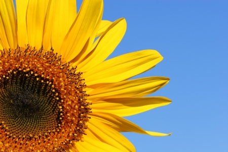 yellows: Three quarter section of a sunflower against a blue sky. Stock Photo