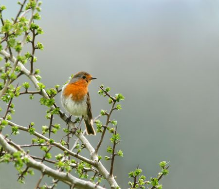 Robin sitting on the branch of a hawthorn tree in spring, set against a grey sky. Banco de Imagens