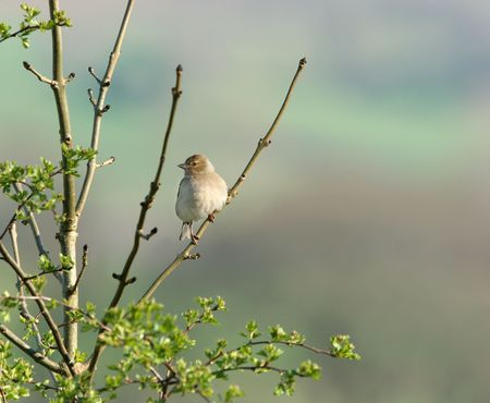 chaffinch: Chaffinch femminile seduta sul ramo di un albero di biancospino in primavera.  Archivio Fotografico