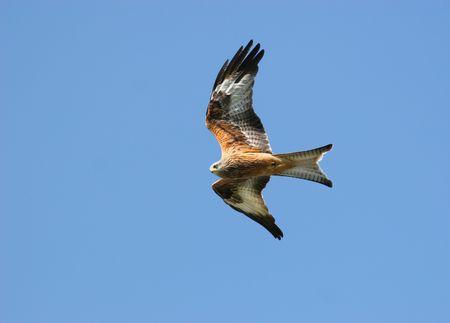 ファルコン: 赤鷲凧青い空の日単独で。