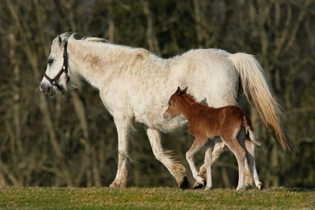 White pony with her new born brown foal trotting along side her in a field in spring. (Welsh Section B horses) photo