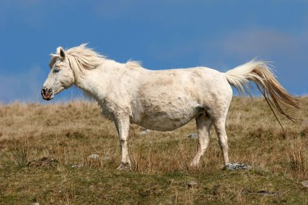 Pregnant white Welsh wild mountain pony standing in a field in spring against a blue sky. Set in the Brecon Beacons National Park, Wales, United Kingdom where the ponies roam free. photo