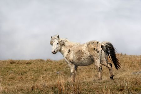 Pregnant Welsh wild mountain pony standing in a field in spring, set in the Brecon Beacons National Park, Wales, United Kingdom, where the horses run free. photo