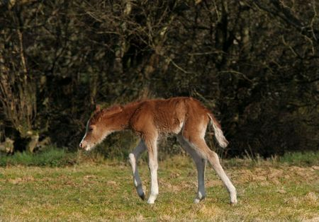 New born foal four hours old, standing in a field in spring. Welsh Section B photo