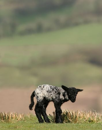 standing alone: New born  black and white speckled lamb standing alone in a field in spring.