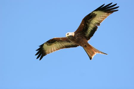 Red Kite eagle flying alone on a blue sky day.